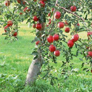 Meyve-Fidanları-10