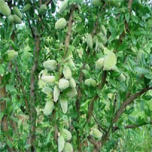 Meyve-Fidanları-16
