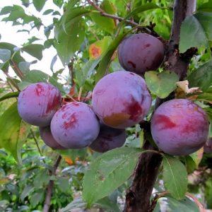 Meyve-Fidanları-19