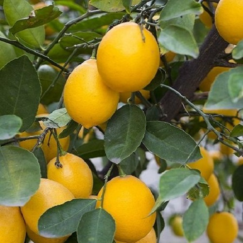 Limon Fidanları 1