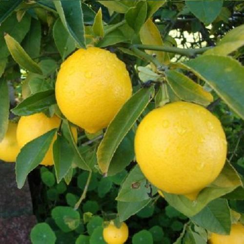 Limon Fidanları 2