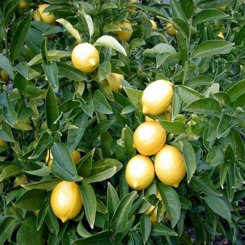 Limon Fidanları 5