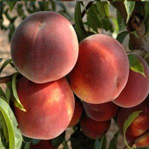 Meyve-Fidanları-11