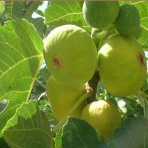Meyve-Fidanları-21