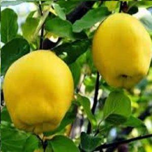 Meyve-Fidanları-25