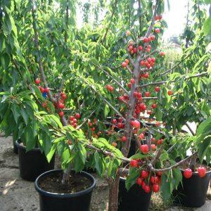 Meyve-Fidanları-4