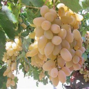 Meyve-Fidanları-7