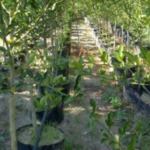 Meyve-Fidanları-9