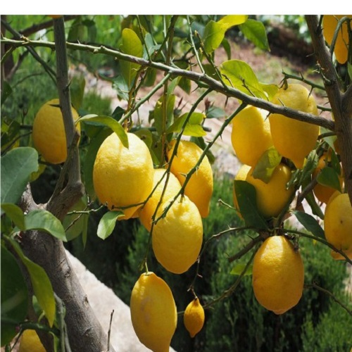 Limon Fidanları 3