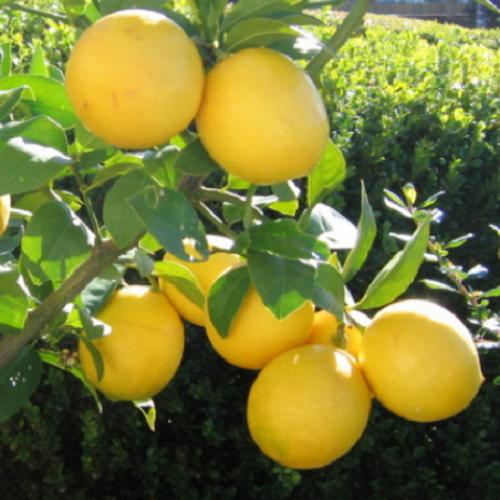 Limon Fidanları 4
