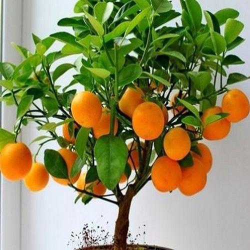 Portakal Fidanı 1