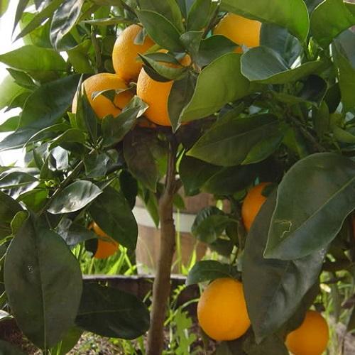 Portakal Fidanı 2