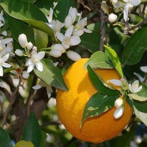 Portakal Fidanı 3